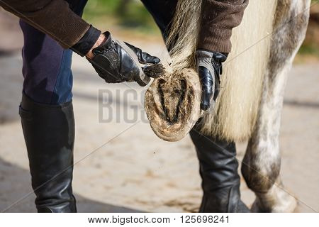 The man cleans a horse's hoof before the training