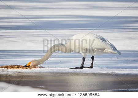Whooper swan (Cygnus Cycnus) standing and eating on the ice of a frozen lake in Finland in winter. Beautiful late afternoon sunlight.