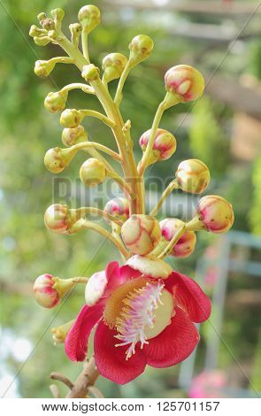 Cannonball Flower Of Cannonball Tree Or Sal Tree