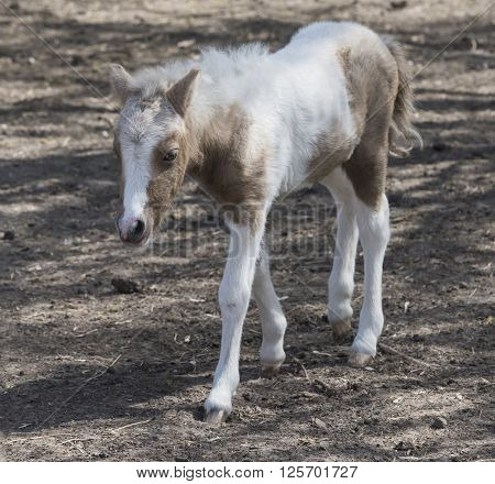 Hatchling pony for a walk . April 10, 2016