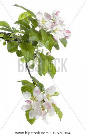 Spring Apple Blossom over white