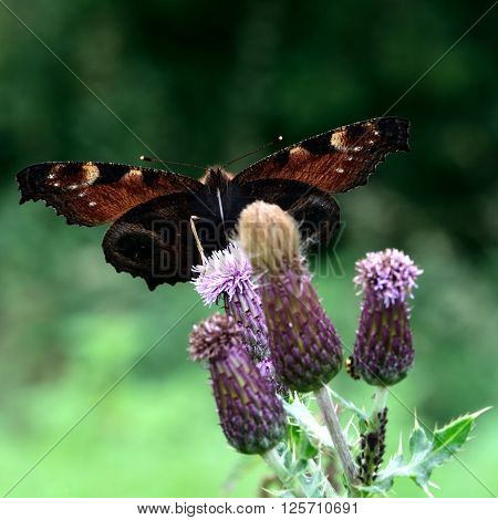 Peacock butterfly (Aglais io) on thistle from below. Attractive insect shown with sunshine shining through wings, highlighting subtle pattern on underside of wings