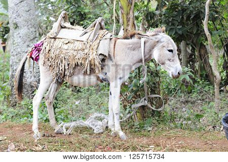 A saddled-up donkey standing quietly as he's tethered to a tree.