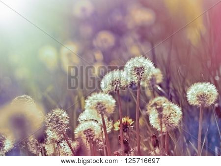 Dandelion in meadow, in spring - dandelion seeds