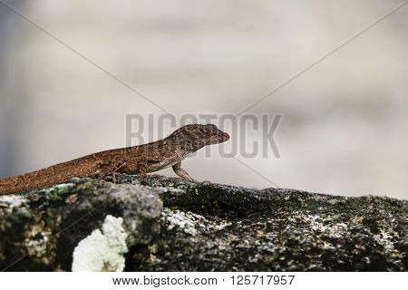 Brown anole lizard on a concrete wall