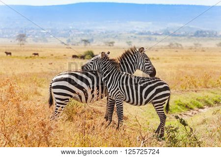 Two zebras playing with each other at savannah of Masai Mara National Reserve in  Kenya, Africa
