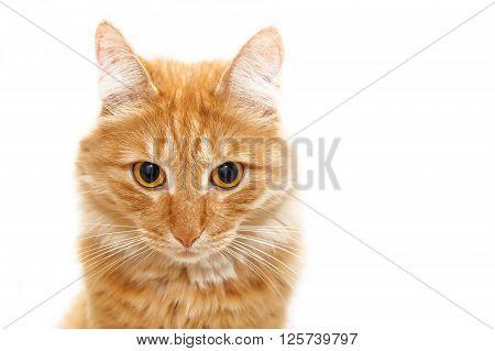 Сute red cat starring in the camera