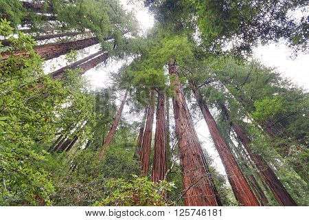 Red wood forest in Muir Woods California