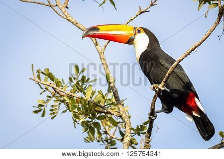 Toco Toucan resting on branch, blue sky