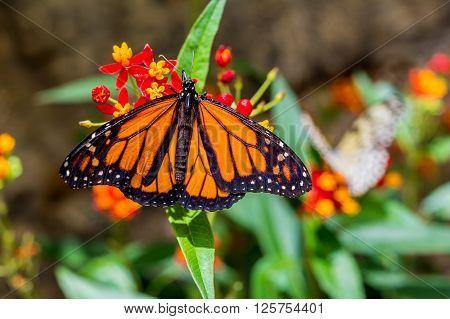 A male Monarch Butterfly (Danaus plexippus) resting on a leaf