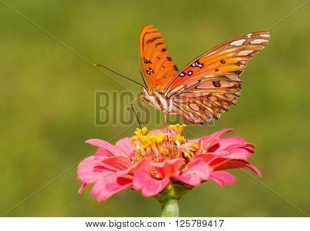 Beautiful Gulf Fritillary butterfly on a pink Zinnia with green summer background