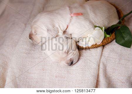 Little Puppy Golden Retriever