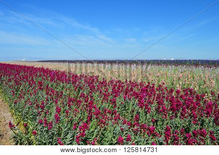 Field of stock flowers growing with blue sky.