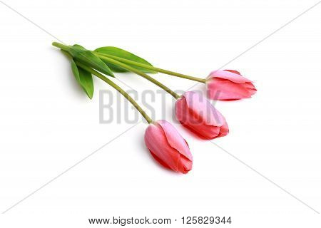 Fresh red Tulips on a white background