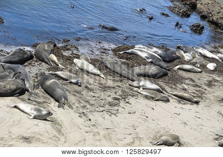 View of a lot of elephant seals resting on a sand beach along Big Sur, California