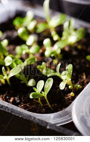 Several First Spring Sprouts In Plastic Boxes