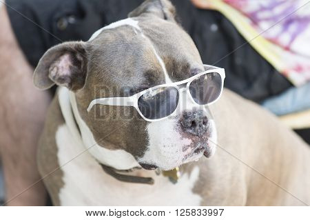Portrait of pirebred Staffordshire bull Terrier brown and white color lying outdoor in white summer sunglasses