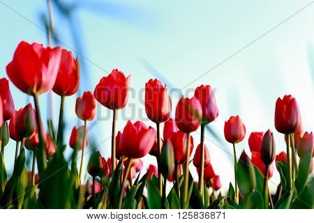 red tulips against sky viewed from below