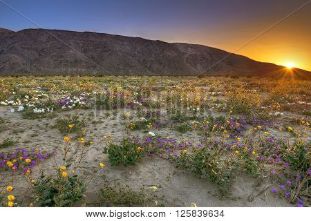 Blooming Desert near Anza Borrego Springs California.** Note: Visible grain at 100%, best at smaller sizes