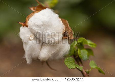 Exposed flower bud of Gossypium herbaceum commonly known as Levant cotton species of cotton native to the semi-arid regions of sub-Saharan Africa and Arabia