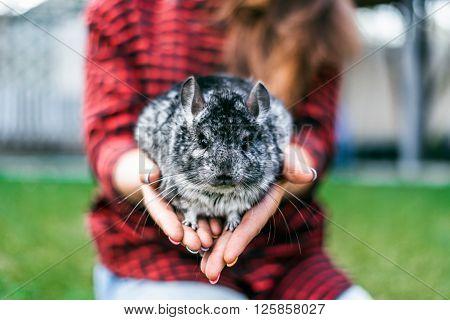 chinchilla sitting on your hands. chinchilla sitting on your hands