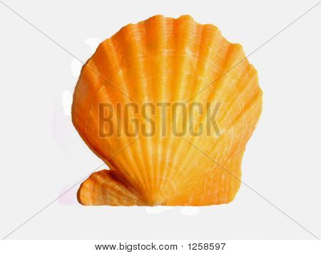 Orange Scallop Seashell