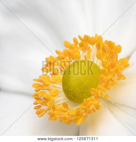 A Closeup of a White and Yellow Anemone