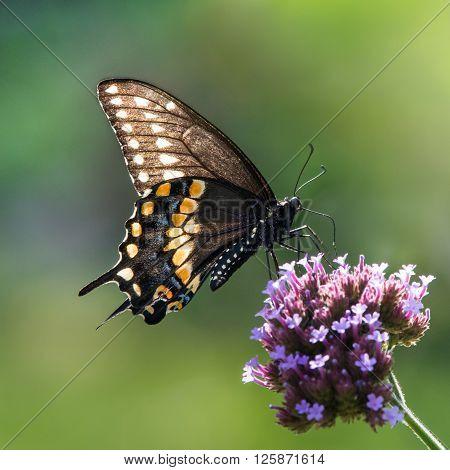 Black Swallowtail Vi