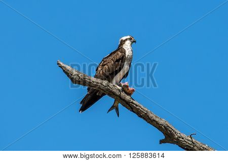 Osprey perched on a branch holding a large Rockfish over the Chesapeake bay in Maryland