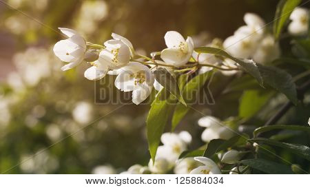 jasmine flowers in bloom outdoor photo, vintage toned