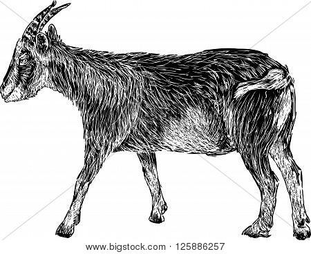 Vector drawing of a black domestic goat.