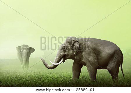 Sumatran Elephant Walking On The Green Field