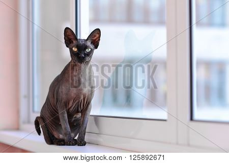 Cute sphynx hairless cat with big ears sitting like a statuette besides a window
