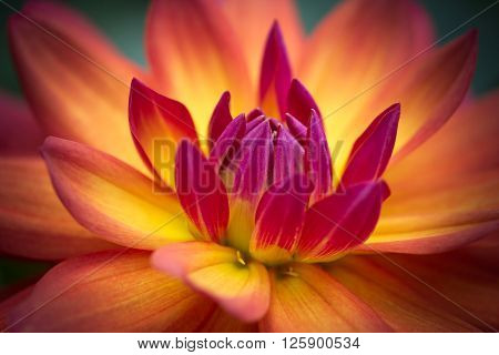 Closeup of a beautiful dahlia flower in pink, yellow and orange tones