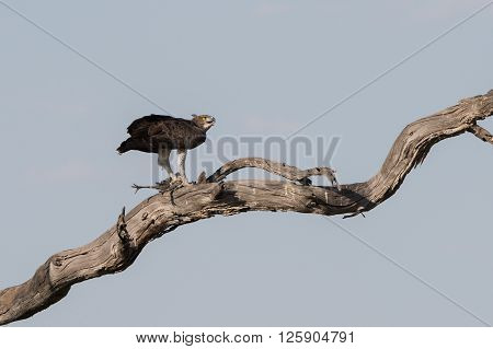 Martial Eagle (Polemaetus bellicosus) with Guinea Fowl Kill in tree Botswana 2015 poster