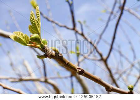 The branch of fig tree with bud