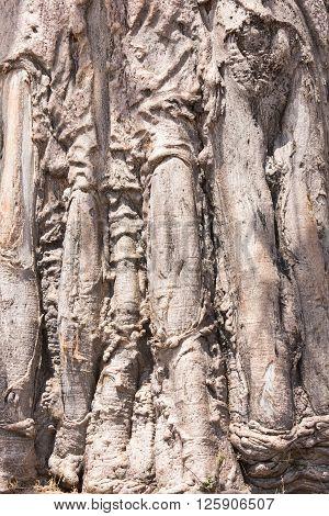 Close up of Baobab tree (Adansonia) trunk texture in Caprivi Region Namibia