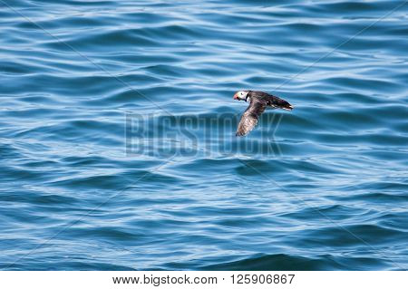Atlantic Puffin Flying Low