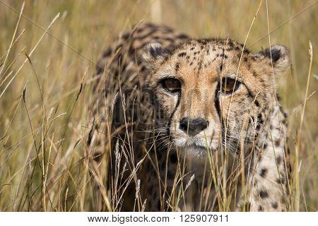 Cheetah Portrait In Tall Grass