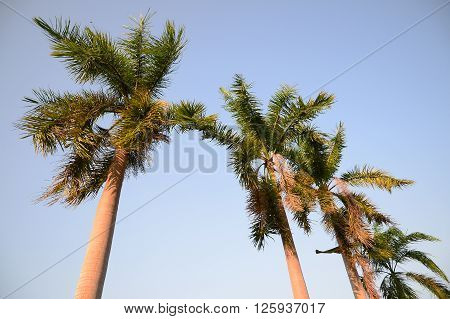 Foxtail palm trees in the wind with blue sky background