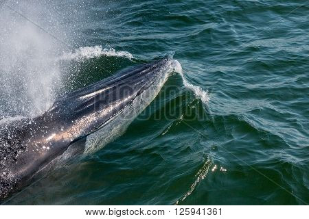 Baby Bryde's Whale quickly swim to the water surface to exhale by blowing the water into the air. There are many Bryde's Whale living in the gulf of Thailand at Bang Tabun Petchaburi Thailand.