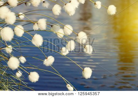 Cotton grass in windy weather against water