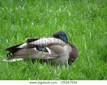 Wild duck standing on the shore of the lake.