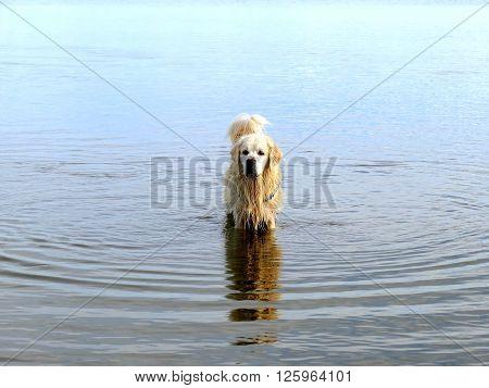 Labrador retriever making ripples in water of lake