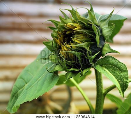 The sunflower is an annual plant is used for the manufacture of sunflower oil.