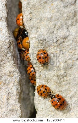 Large group of Harlequin ladybird (Harmonia axyridis). Invasive ladybirds emerging from a crack in rocks on a sunny spring day in the UK