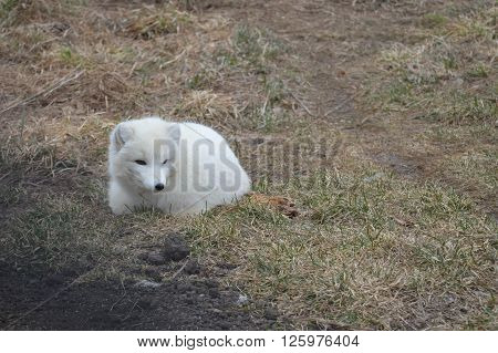 A white Arctic fox curled up on the ground