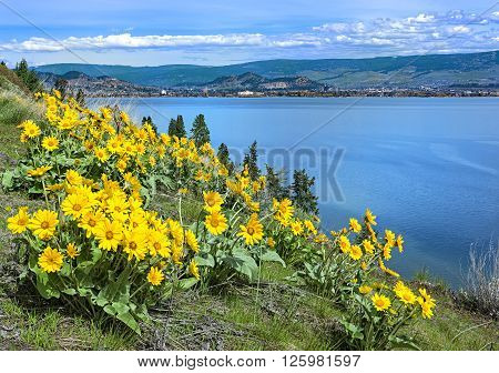 Okanagan Lake Kelowna British Columbia Canada with Balsamroot flowers in the foreground on a spring day
