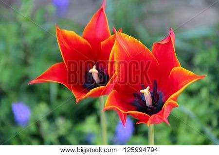 big red beautiful tulips on the garden. photo