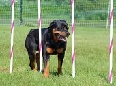 Rottweiler Weaving Through Poles at a Dog Agility Trial poster